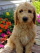 Goldendoodle-Poodle (Standard) Mix Puppy For Sale in CONVOY, OH, USA