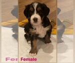 Puppy 2 Miniature Bernedoodle