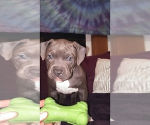 American Pit Bull Terrier Puppy for sale in WENATCHEE, WA, USA