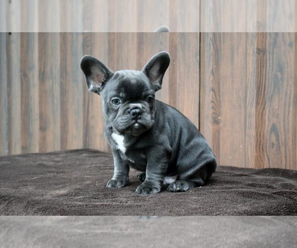Medium Photo #2 French Bulldog Puppy For Sale in Soltvadkert, Bacs-Kiskun, Hungary
