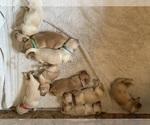 Small Photo #2 Golden Retriever Puppy For Sale in LAPEER, MI, USA