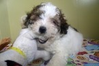 Maltese-Poodle (Toy) Mix Puppy For Sale in PATERSON, NJ, USA