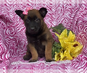 Belgian Malinois Puppy for sale in CEDAR LANE, PA, USA