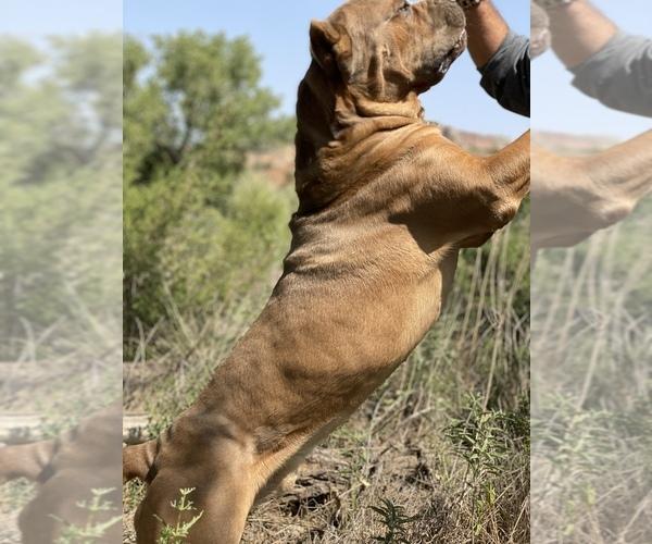 Medium Photo #16 Cane Corso Puppy For Sale in AMARILLO, TX, USA