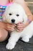 Great Pyrenees Puppy For Sale in KNOXVILLE, TN, USA