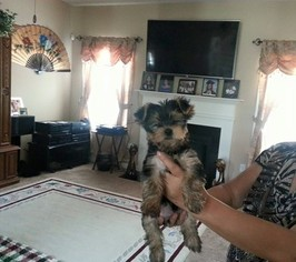 Yorkshire Terrier Puppy For Sale in PHENIX CITY, AL, USA