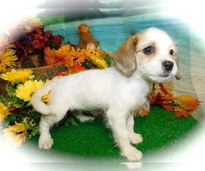 Shih-Poo-Yorkie Russell Mix Puppy for sale in HAMMOND, IN, USA