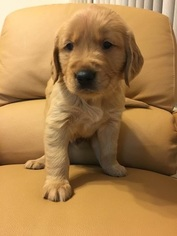 Golden Retriever Puppy for sale in OPA LOCKA, FL, USA