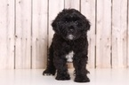 Yorkie-Poo Puppy For Sale in MOUNT VERNON, OH, USA