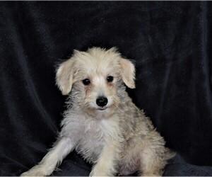 Schnoodle (Miniature) Puppy for sale in BARNESVILLE, KS, USA