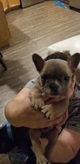 French Bulldog Puppy For Sale in MOXEE, WA, USA