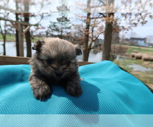 Shiranian Puppy for sale in LANSING, MI, USA