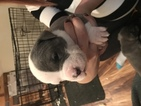 American Pit Bull Terrier Puppy For Sale in BOURBONNAIS, IL, USA