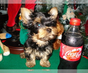 Yorkshire Terrier Dog for Adoption in BETHLEHEM, Georgia USA