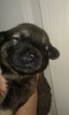 Anatolian Shepherd-Labrador Retriever Mix Puppy For Sale in KANSAS CITY, MO, USA