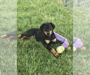 Doberman Pinscher Puppy for Sale in HAYWARD, California USA