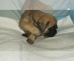 Small #43 Mastiff