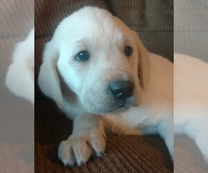 Labrador Retriever Puppy for sale in COEUR D ALENE, ID, USA