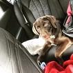 Labrador Retriever Puppy For Sale in STONE MOUNTAIN, GA, USA