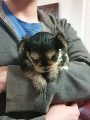 Morkie Puppy for sale in Goyang-si, Gyeonggi-do, Korea, South