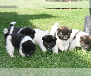 Akita Puppy for Sale in FORT SHAW, Montana USA