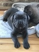 Cane Corso Puppy For Sale in OCEAN CITY, MD