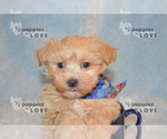 Small #6 Maltipoo-Poodle (Toy) Mix