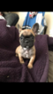 French Bulldog Puppy For Sale in SAN DIMAS, CA, USA