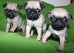 Pug Puppy For Sale in LAKESIDE, CA, USA
