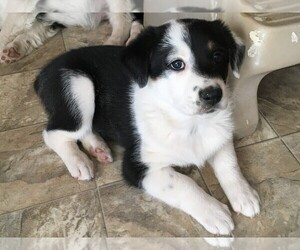 Australian Shepherd-Unknown Mix Puppy for sale in MORIARTY, NM, USA