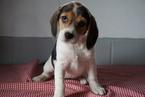Beagle Puppy For Sale in FREDERICKSBURG, Ohio,