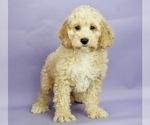 Puppy 4 Cocker Spaniel-Poodle (Miniature) Mix