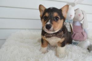 Pembroke Welsh Corgi Puppies For Sale Near Brooklyn New York Usa
