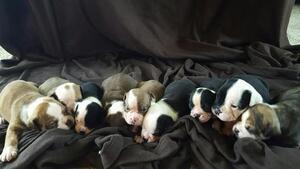 Olde English Bulldogge Puppy For Sale in CADOTT, WI, USA