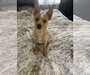 Chiranian Puppy for sale in FAIRBURN, GA, USA