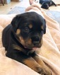 Rottweiler Puppy For Sale in JOHNS PASS, FL, USA