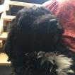 Bouvier Des Flandres-Poodle (Standard) Mix Puppy For Sale in SPOKANE, WA, USA