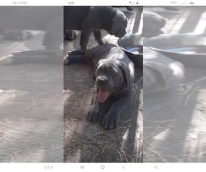 Mastiff Puppy for sale in INTERLACHEN, FL, USA