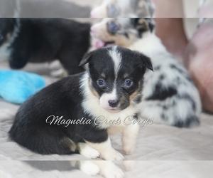 Pembroke Welsh Corgi Puppy for Sale in ANDALUSIA, Alabama USA