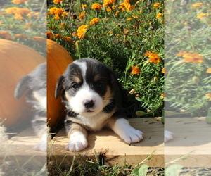 Pembroke Welsh Corgi Puppy for sale in FAIR GROVE, MO, USA