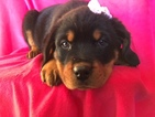 Rottweiler Puppy For Sale in QUARRYVILLE, Pennsylvania,