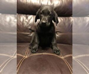 Labrador Retriever Puppy for sale in FINLAYSON, MN, USA