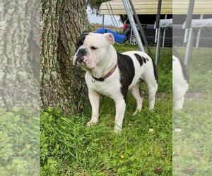 Olde English Bulldogge Puppy for sale in EUNICE, LA, USA