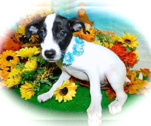 Jack-Rat Terrier-Labrador Retriever Mix Puppy for sale in HAMMOND, IN, USA