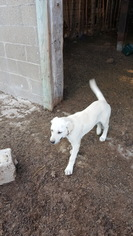 Anatolian Shepherd Puppy for sale in MONTEREY, IN, USA