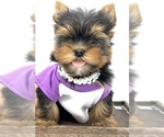 Small #7 Yorkshire Terrier