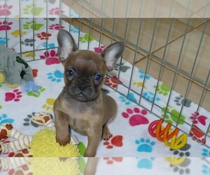 French Bulldog Dog for Adoption in ORO VALLEY, Arizona USA