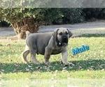 Puppy 3 Boerboel