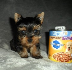 Yorkshire Terrier Puppy For Sale in STANTON, MO