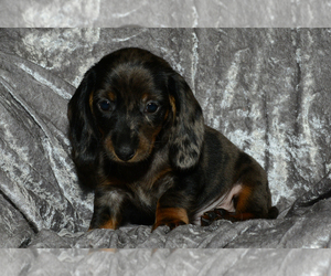 Dachshund Dog for Adoption in SAGINAW, Michigan USA